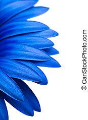 błękitny, biały, odizolowany, stokrotka