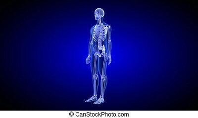 błękitny, ciało, render, skandować, -, seamless, anatomia, ludzki, obracający, pętla, 3d