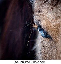 błękitny, closeup, koń, oko