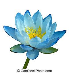błękitny, izolować, woda, tło., biała lilia