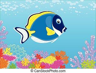 błękitny, koral, fish, chirurg, rafa