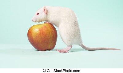 błękitny, mały, jabłko, posiedzenie, podręcznik, szczur,...