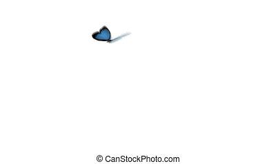 błękitny, motyl, intro