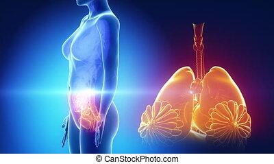 błękitny, organy, samica, rentgenowski