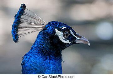 błękitny paw, wizerunek, do góry, paw, zamknięcie, samiec, albo