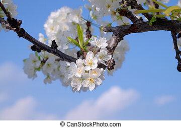 błękitny, pełny, chmury, kwiat, drzewo, śliwka, niebo, -1