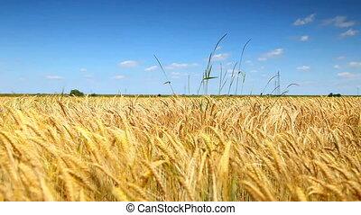 błękitny, pszenica, złoty, nagniotek, niebo pole
