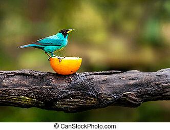błękitny ptaszek, posiedzenie, na gałęzi, dziewiczość