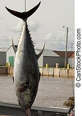 błękitny, tuńczyk, płetwa