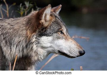 bőrfarkasos, farkas, szürke, canis
