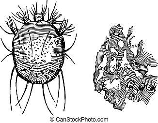 b-portion, ihr, eier, scabiei, epidermis, engraving., ausstellung, a-acarus, bauten, enthalten, weinlese