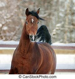 baía, árabe, cavalo, em, inverno