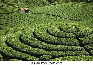 ba, gua, té, jardín, en, medio, de, taiwán