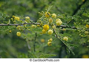 Albero Fiori Gialli.Acacia Kerala India Fiori Gialli Sud