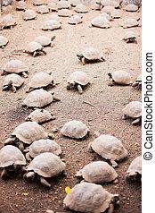 Babies of Galapagos giant tortoises