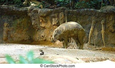 Babirusa in his Habitat Enclosure in a Popular Public Zoo. Video