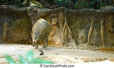 Solitary pig deer, flicking his tail as he walks awkwardly across the sand in his habitat enclosure at a popular public zoo. Video UltraHD