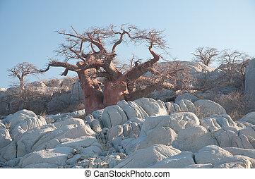 Babobab tree among granite boulders