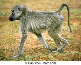 A digital image of a baboon in Kenya.