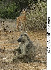 baboon and antelope