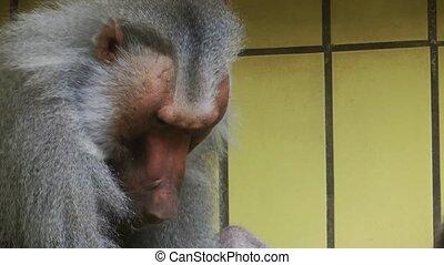 Baboon Animal in Zoo