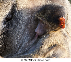 Baboon baby drinking from his mother in early morning