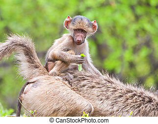 Baboon baby riding its mother