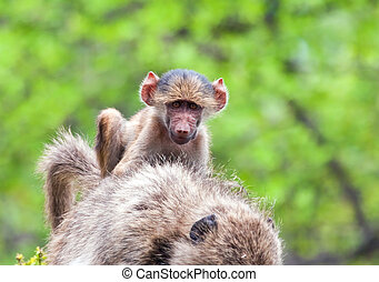 Baboon baby riding on its mother