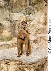 Baboon baby riding on it's mother's back