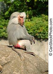 Baboon chief - Baboonchief on the rocks.