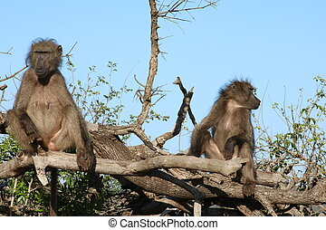 Baboon couple sitting in a tree