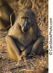 Baboon family play and having fun in nature