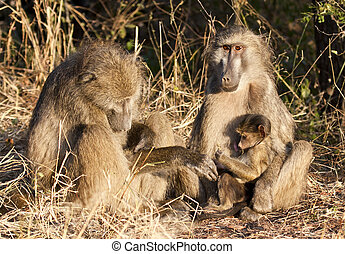 Baboon family sitting on the side of a road in the morning sun