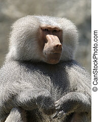 Baboon from a zoo