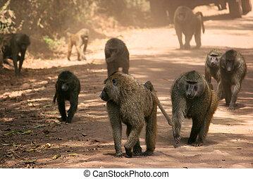 baboon in tanzania