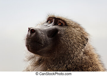 The Baboon in the park in the Kenya
