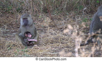 Baboon Monkey Female Holding a Baby. Animal Family in African Savannah