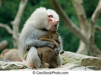 two baboon monkeys in love