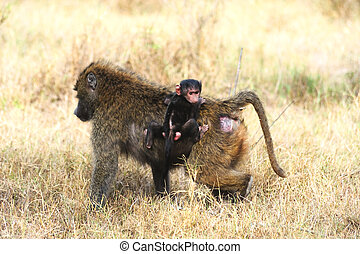Baboon monkey mother and baby