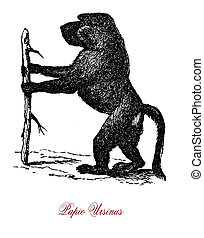 Baboon monkey, vintage engraving - Cape Baboon or chacma...