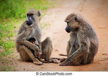 Baboon monkeys in African bush. Tsavo West, Kenya