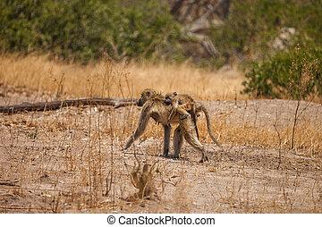 Baboon mother and baby, Botswana