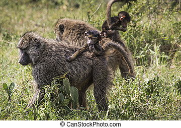 Baboon mother walking through the savannah with its baby on the