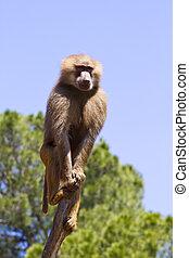 Baboon (Papio hamadryas ursinus) in a tree