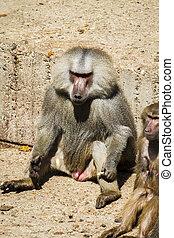 Baboon (Papio hamadryas ursinus), male