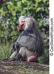 Baboon resting on hillside