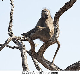 Baboon sentry sitting in a tree