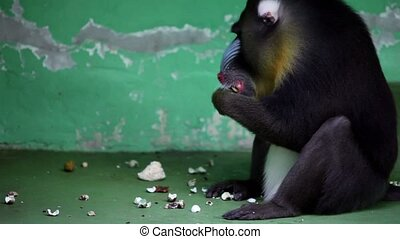 Baboon sits in front of wall and eats in zoo - Baboon sits...