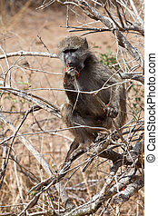Baboon sitting in a tree