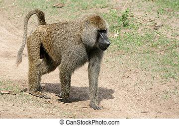 Baboon - Tanzania, Africa - Baboon - Tarangire National Park...